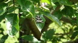 3 Jersey Tiger moth