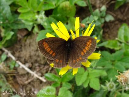 3 Lesser Mountain Ringlet (I think)