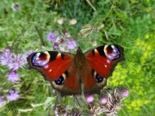 3 Peacock butterfly