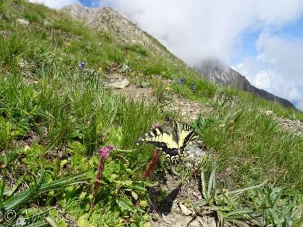 31 Common Swallowtail