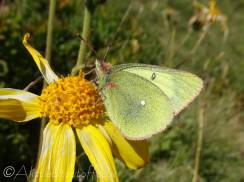 31 Moorland Clouded Yellow