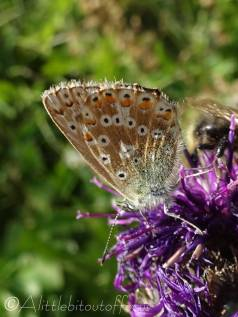 35 Common Blue male (I think)