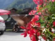 38 Hummingbird Hawkmoth