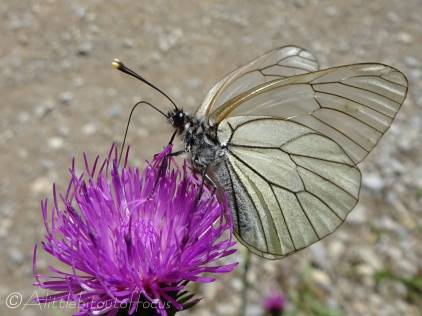 39 Black-veined white