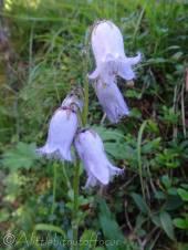 7 Bearded Bellflowers