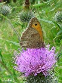 7 Meadow Brown (I think)