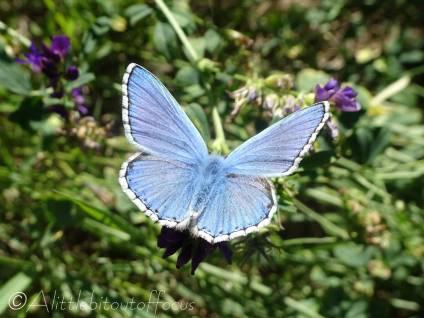 1 Adonis blue