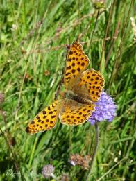 14 Queen of Spain fritillary