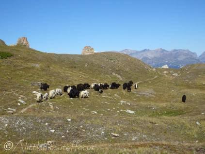 18 Yak herd