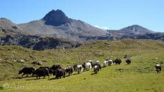 20 Yaks and Becs de Bosson