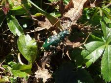 22 Green (possibly Tiger) Beetle