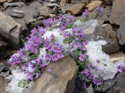 27 Icy Alpine Toadflax