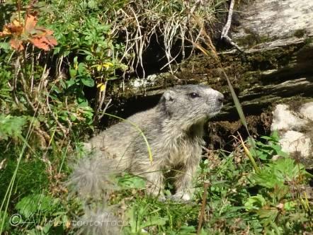 30 Marmot