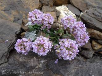33 Round-leaved Penny-cress