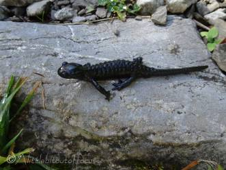 6 Black newt