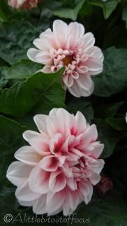 A11 Chrysanthemums