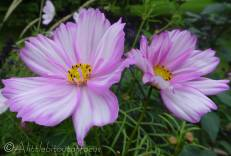 A12 Pink flowers