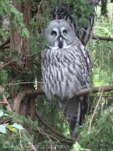 B10 Great Grey Owl