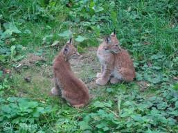 B11 Two young Lynxes (born May 2019)