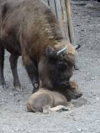 B12 European Bison and calf