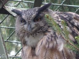 B13 Eagle Owl