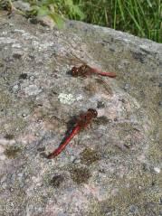 B4 Dragonfly 1