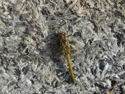 B5 Dragonfly 2