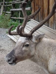 B7 Reindeer