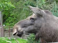 B8 Moose
