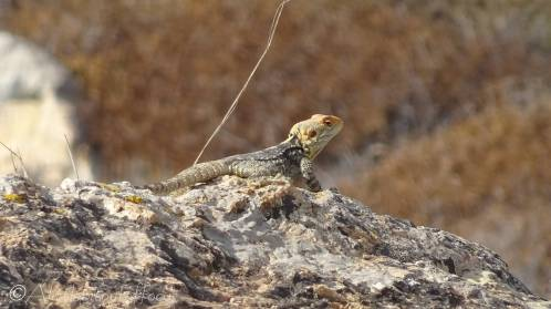 Star Agama lizard