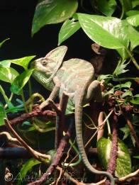 12 Veiled chameleon