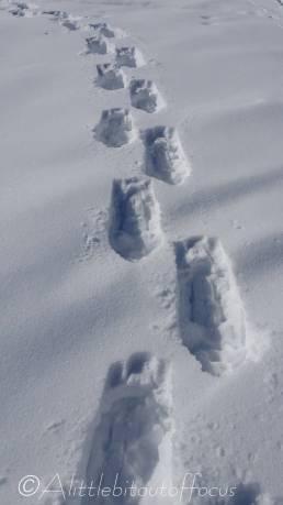 20 Snowshoe tracks