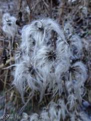 17 Unknown plant (looking like Pekinese dogs)