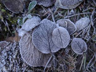 18 Frosty leaves