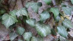 22 Ivy