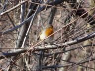 30 European Robin