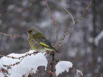 9 Greenfinch