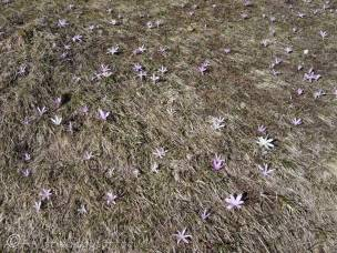 14 Spring Meadow Saffron