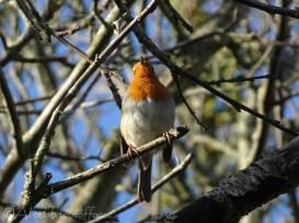 19 European Robin