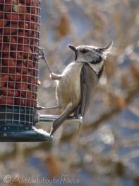2 Crested Tit