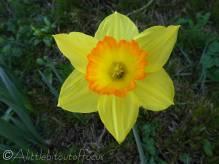 23 Daffodil