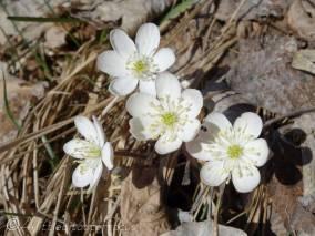 25 White Hepatica