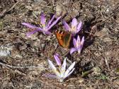 26 Totoiseshell amongst the Meadow Saffron