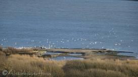 27 Abbotsbury Swans