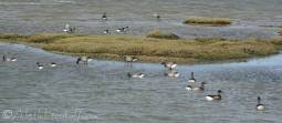 9 Brent geese