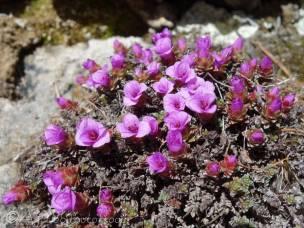 9 Purple Saxifrage